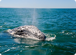 Grey Whale in Baja