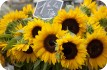 Sunflowers, French Market