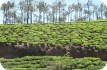 Cyclist riding through tea estates