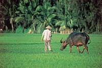 Man leading Ox through paddy fields, Vietnam