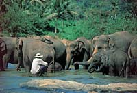 Man with his elephants drinking in Sri Lanka