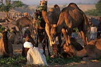 Camels feeding, Pushkar camel fair