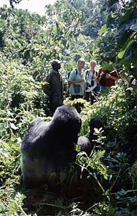 Gorilla, guide and clients, Virunga National Park