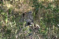 Leopard, Masai Mara