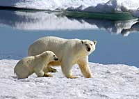 Polar bear and cub on ice