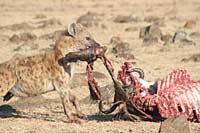 Hyena snacking on wildebeeste, Masai Mara, Kenya