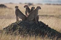 Cheetah's on their lookout