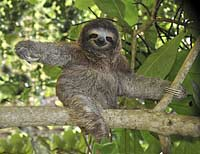 Three toed sloth high in the canopy (Costa Rica)