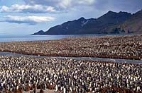 Dense crowd of king penguins