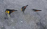 King penguins in the spray