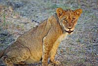 Lion cub in South Luangwa N.P.
