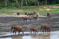 Elephants at Dzanga Bai