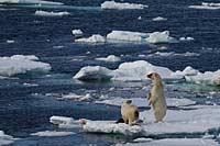 Polar bears with kill, Spitsbergen, Norway