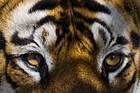Close up! Tiger in Bandhavgarh, India