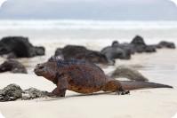 Galapagos marine Iguana