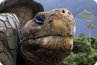 Tortoise, Galapagos Islands