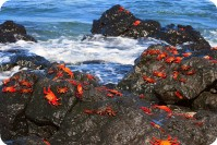 Crabs on rocks, Santa Cruz Island