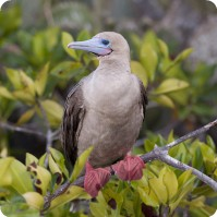 Red-Footed booby perching on a twig, Galapagos Islands