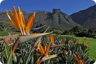 One of the most striking South African flowers, Strelitzia reginae, commonly called Strelitzia, Crane Flower or Bird of Paradise Flower