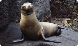 A happy sealion, Galapagos Islands