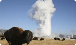 Bison in front of Old Faithful in Yellowstone