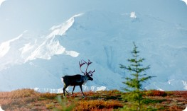 Caribou and Mount McKinley