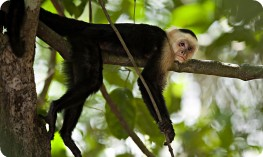 White faced Capuchin monkey, Costa Rica