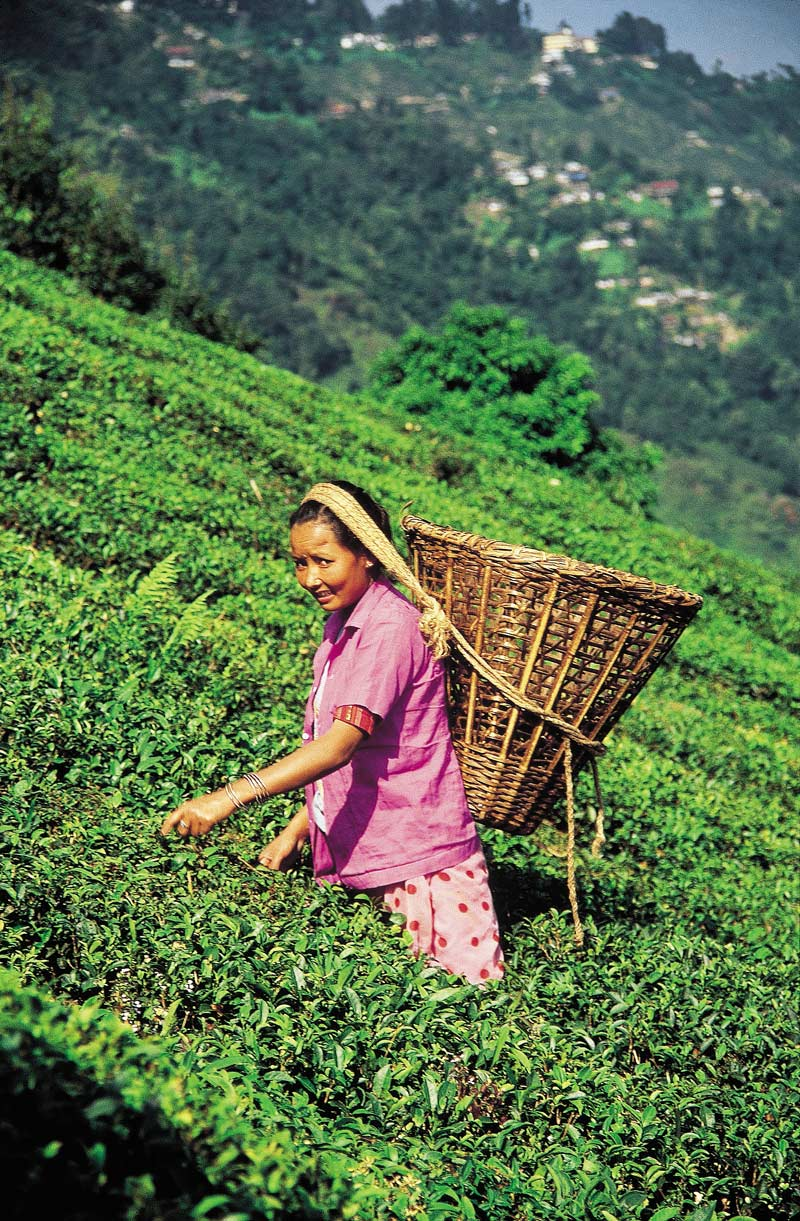 Tea-pciker in a plantation, Darjeeling, India