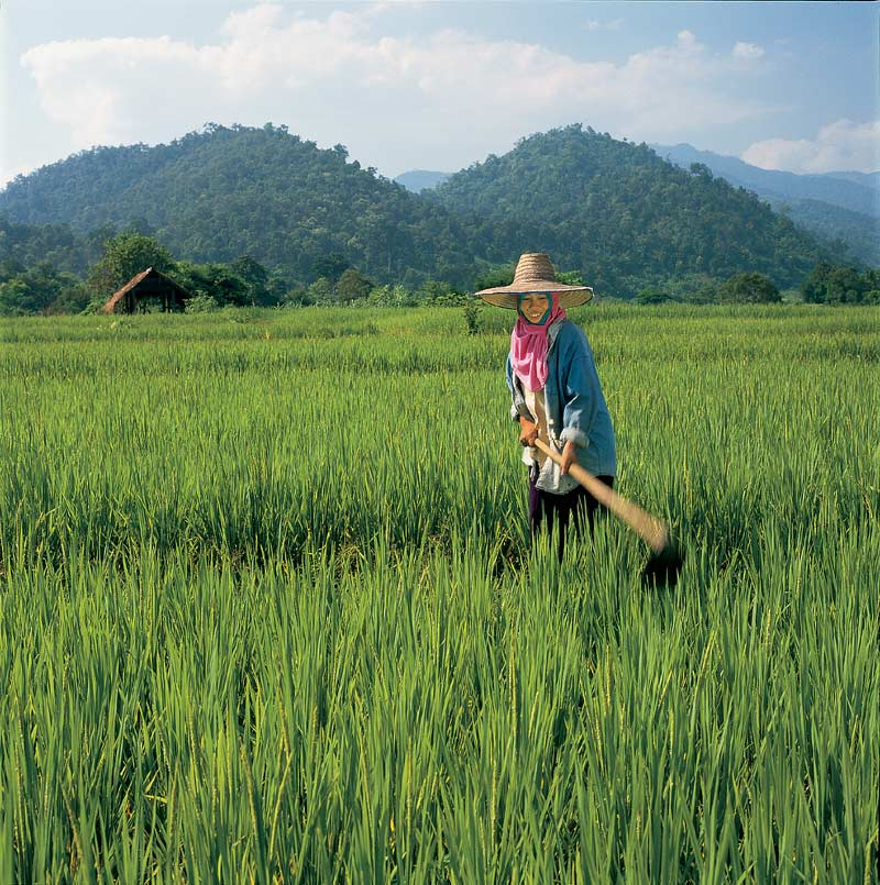 Vietnamese woman working in paddy field