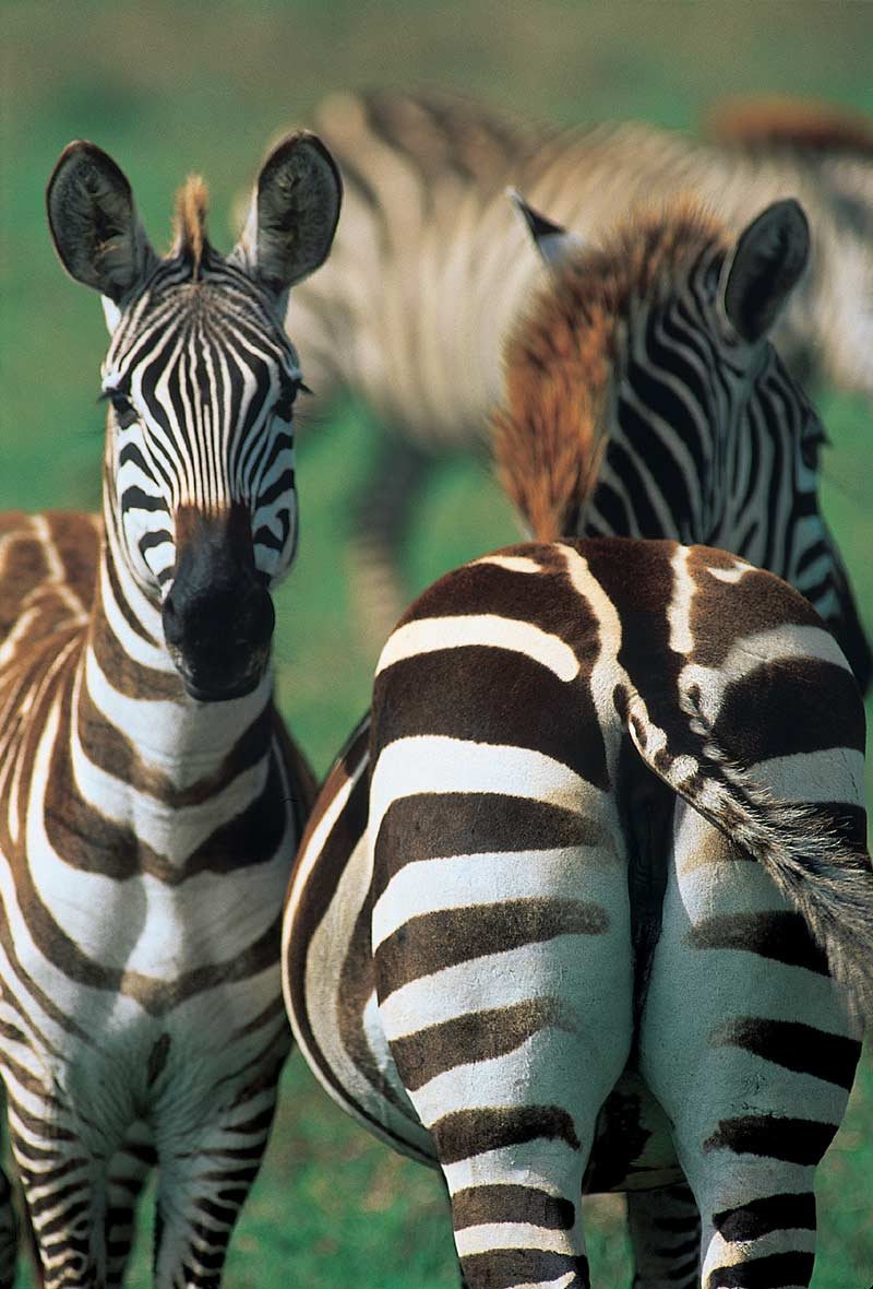 Two zebras, one bum