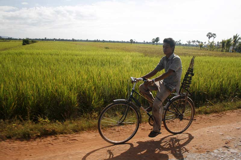 Cyclist and paddy field on the road from Siem Reap to Banteay Srei, Cambodia