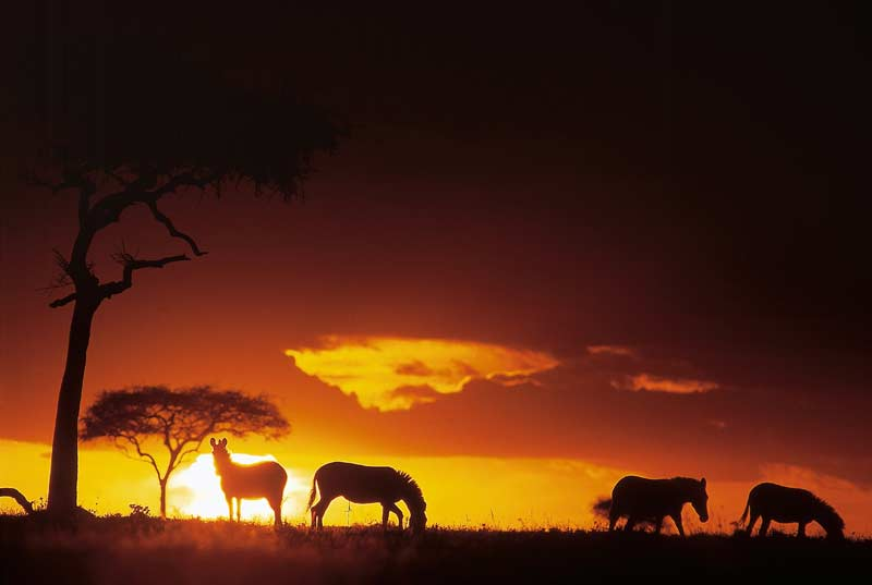 Zebra silhouetted in sunset