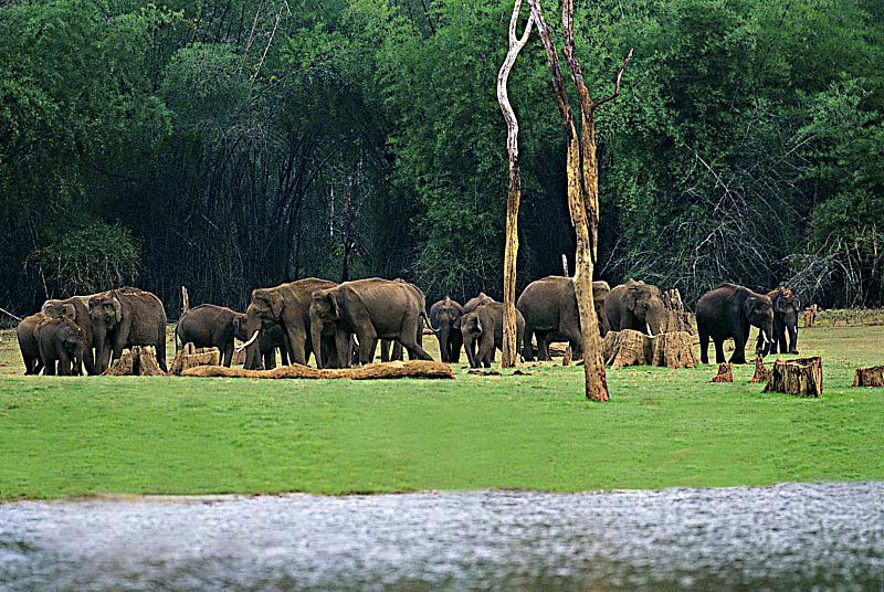 Elephants at Periyar lake