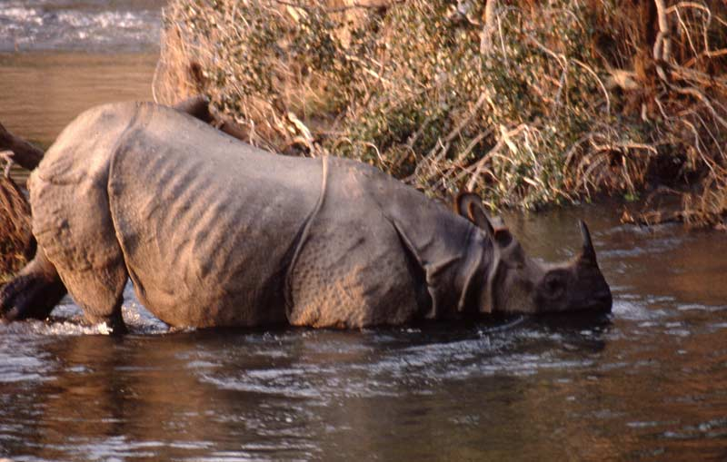 Asian one-horned rhino, Chitwan