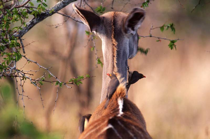 Kudu with red-billed oxpeckers, Kruger