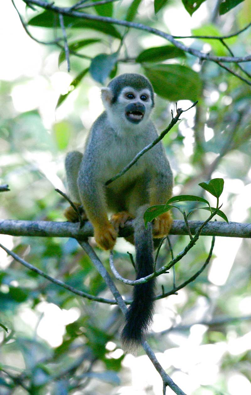 Squirrel Monkey, Amazon Rainforest