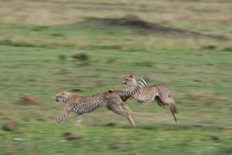 Two of Shakira\'s brood practising their chase skills