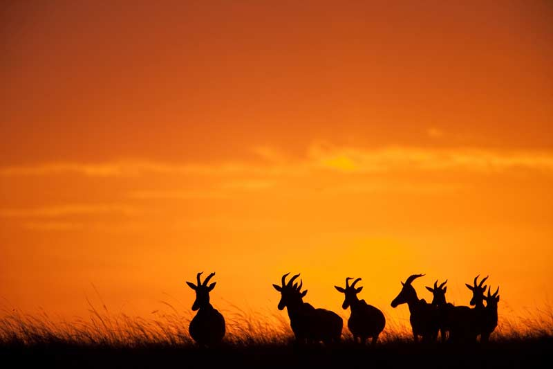 Mara sunset with topi silhouettes