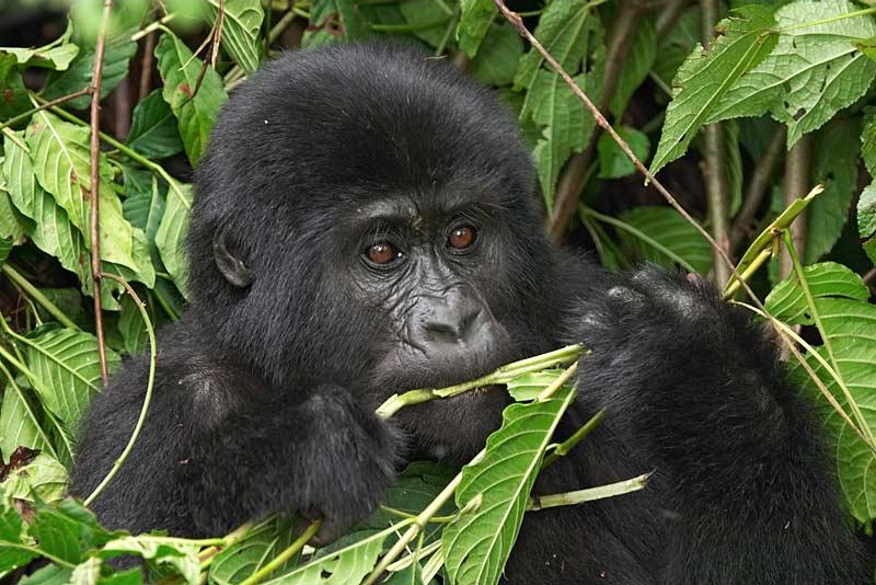 Для самок горилл секс является элементом стратегической борьбы