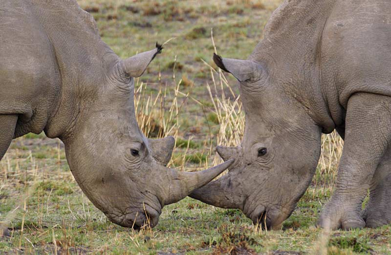 Rhinos in the Serengeti