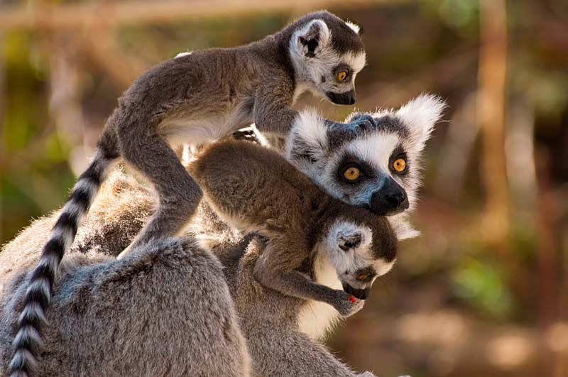 Ring-tailed lemurs, with the babies on mothers back