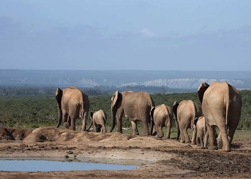Elephants at the watering hole, Addo Elephant Park