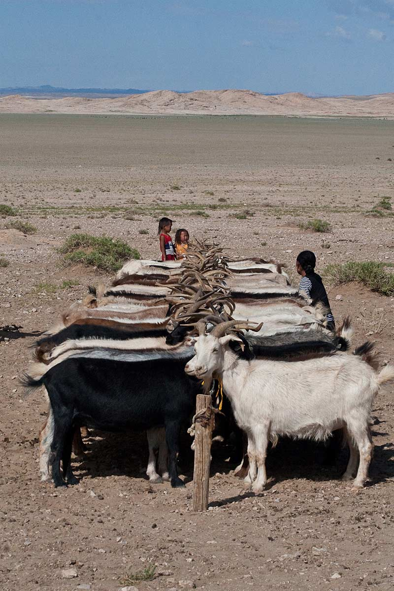 Goats in the Gobi