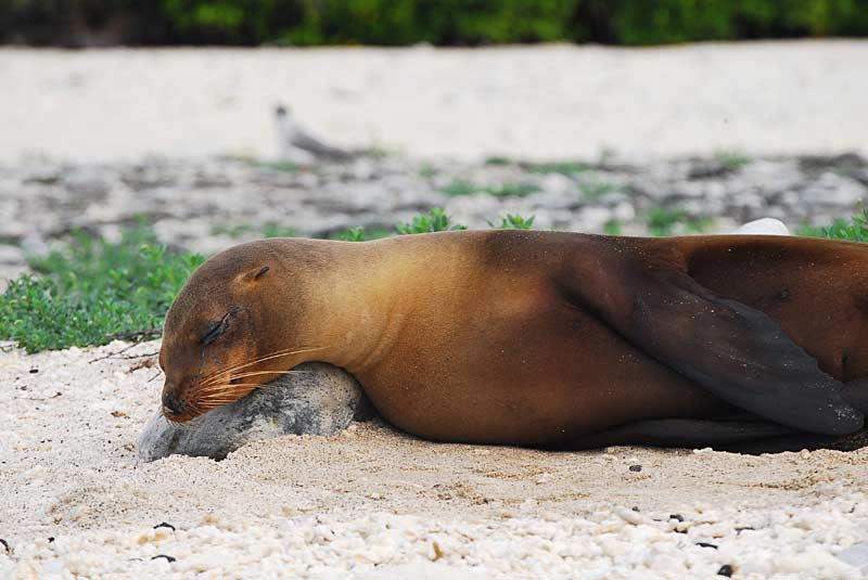 Sea lion snoozing, Galapagos Islands