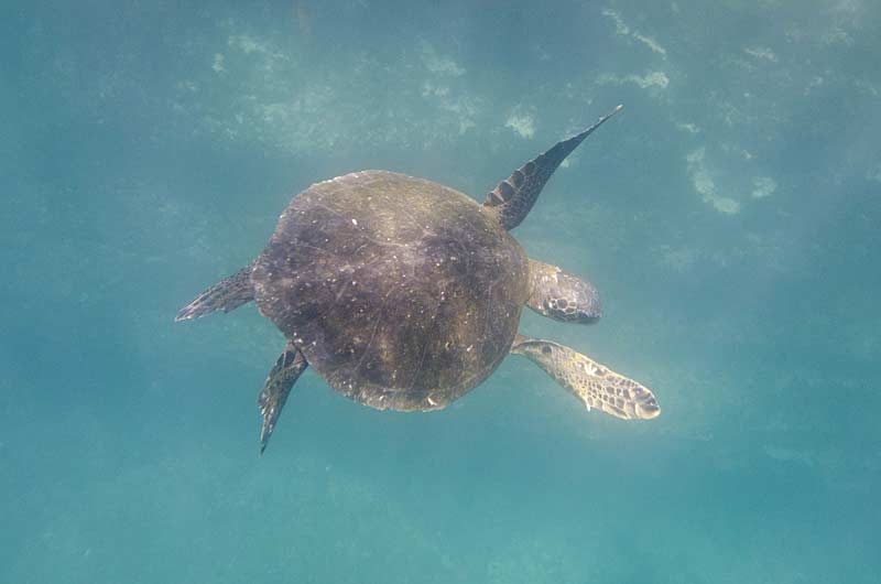 Sea turtle swimming underwater, Tagus Cove, Isabela Island, Galapagos Islands, Ecuador
